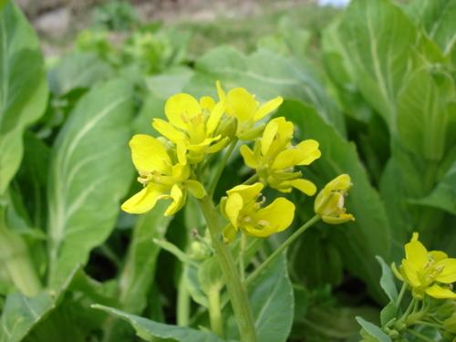 広島菜の花