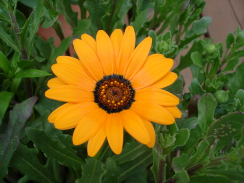 ディモルフォセカスプリングフラッシュオレンジ
