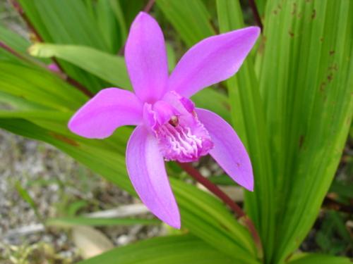シラン (植物)の画像 p1_3