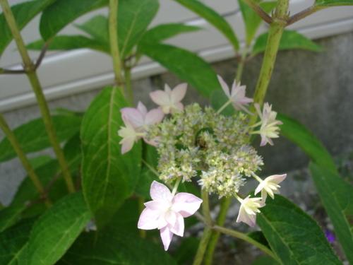 アジサイ 七段花