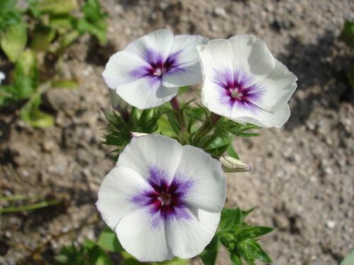 フロックス 白紫