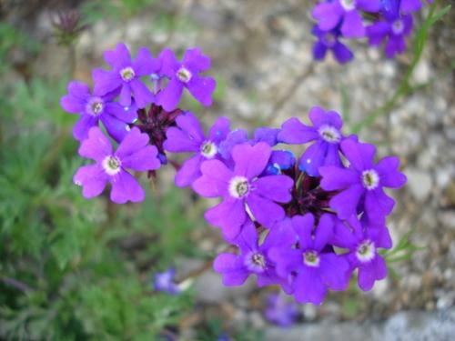 タピアン 紫