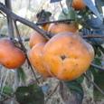 人の畑の柿