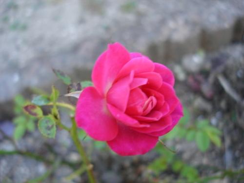 ミニバラ ピンク