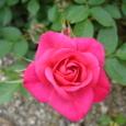 ミニバラ 濃いピンク