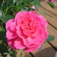 スィートルビーの花