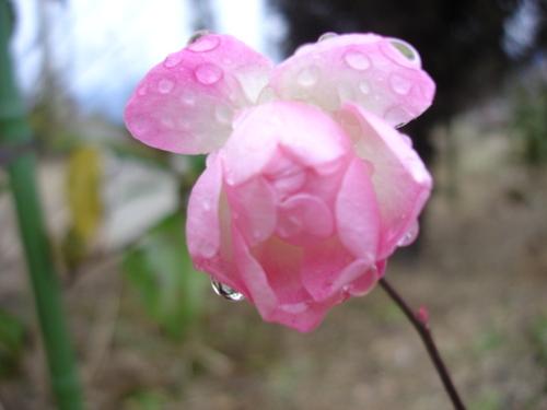 スィートマザーズデイ開花 12月の花